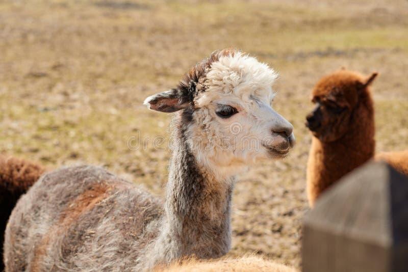 Portret van één witte alpaca in een Litouws landbouwbedrijf in de lente royalty-vrije stock foto