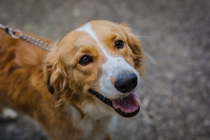 Portret van aanbiddelijke bastaarde hond royalty-vrije stock afbeelding