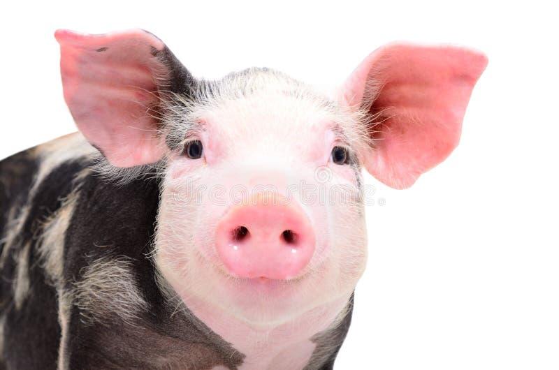 Portret van aantrekkelijk piggy weinig royalty-vrije stock foto