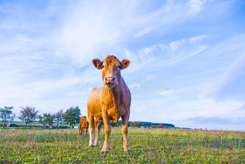 Portret van aardige bruine koe royalty-vrije stock foto's