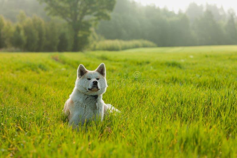 Portret van Akita Inu op een groen tarwegebied in de zomer royalty-vrije stock foto