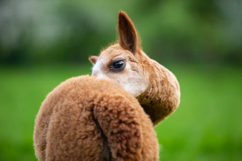 Portret van Alpaca van de rug royalty-vrije stock afbeeldingen