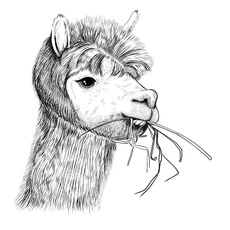 Portret van alpacas, lama's De lama kauwt gras schets royalty-vrije illustratie
