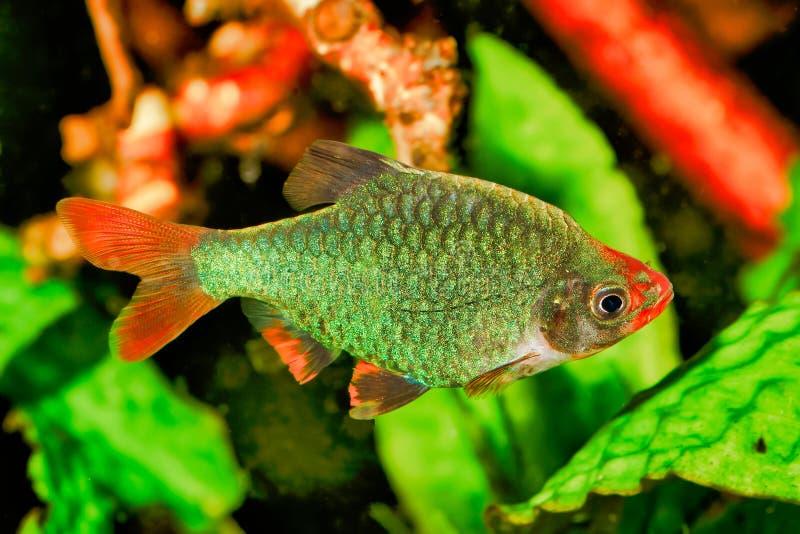 Portret van aquariumvissen - Sumatra-tetrazona van weerhaakpuntigrus in aquarium royalty-vrije stock foto