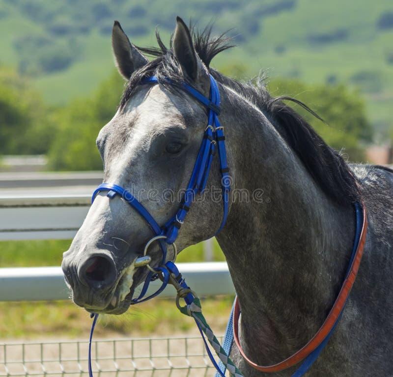 Portret van Arabisch paard royalty-vrije stock afbeelding