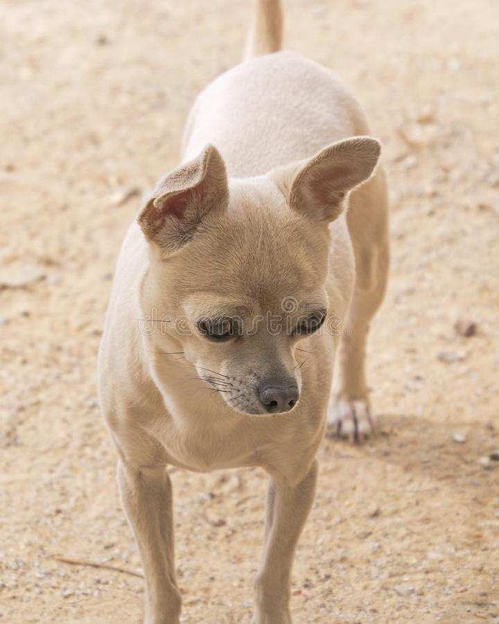 Portret van Beige Chihuahua op Beige Achtergrond royalty-vrije stock foto's