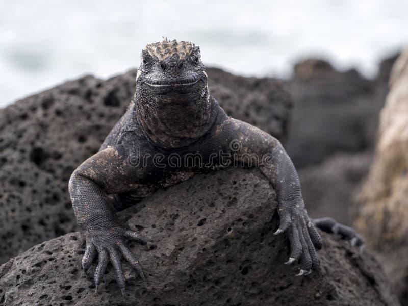 Portret van bizarre Marine Iguana, Amblyrhynchus-cristatushassi, Santa Cruz, de Galapagos, Ecuador royalty-vrije stock fotografie
