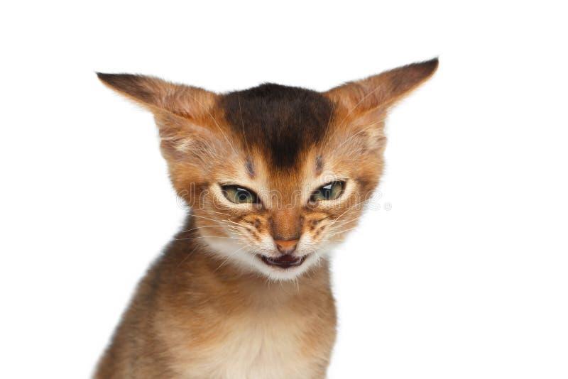Portret van Boos Katje op Geïsoleerde Witte Achtergrond royalty-vrije stock afbeelding