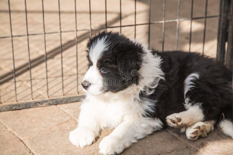 Portret van border collie-hond stock afbeelding