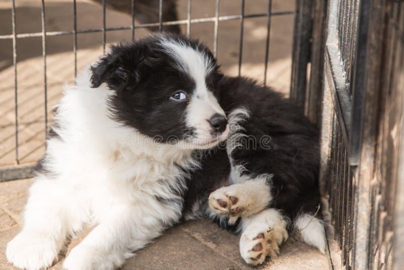 Portret van border collie-hond royalty-vrije stock fotografie
