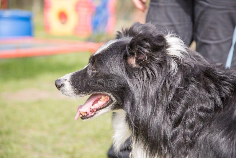 Portret van border collie-hond royalty-vrije stock afbeeldingen
