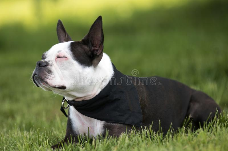 Portret van Boston Terrier stock foto