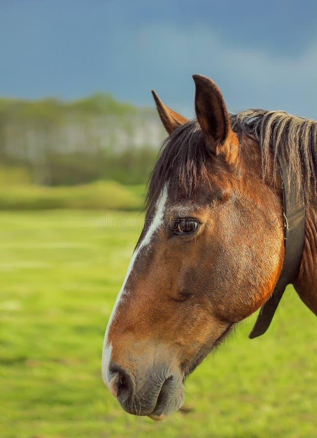 Portret van bruin paard stock afbeeldingen