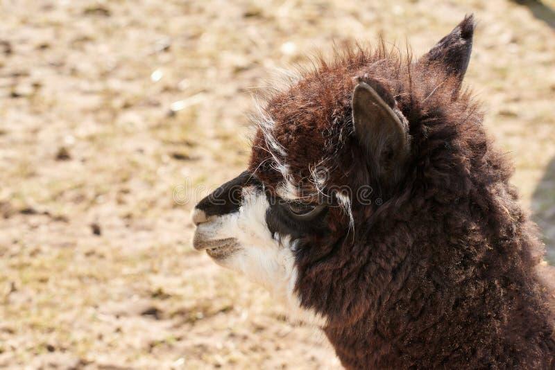 Portret van bruine alpaca op het gebied in de lente royalty-vrije stock foto