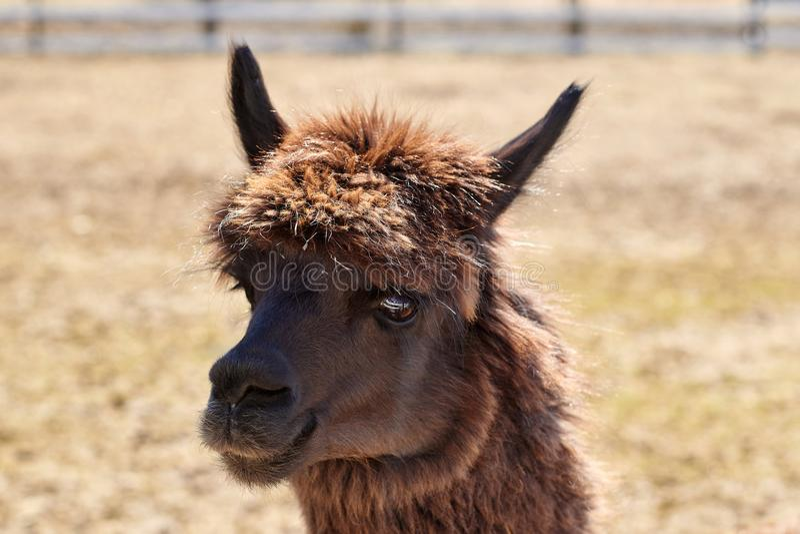 Portret van bruine alpaca op het gebied in de lente stock fotografie