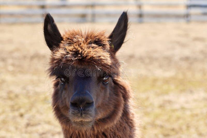 Portret van bruine alpaca op het gebied in de lente stock afbeeldingen