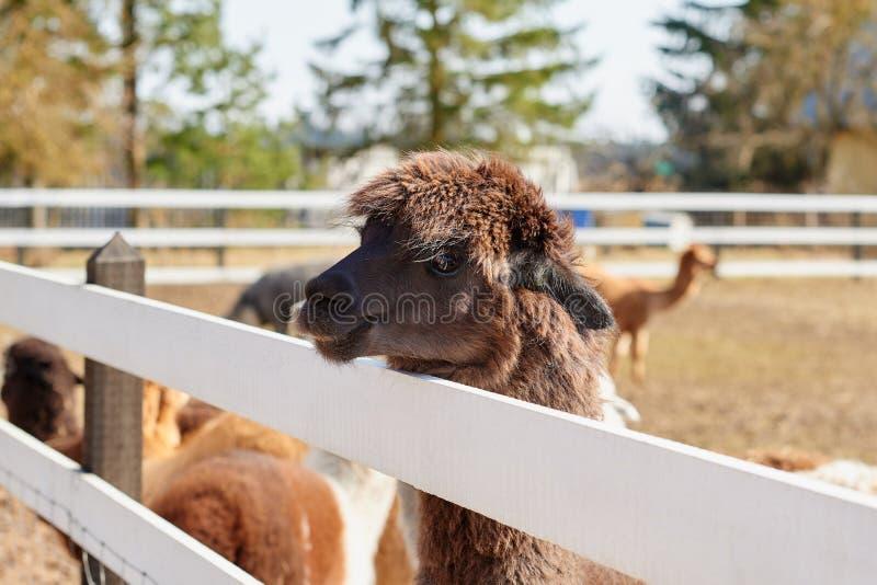 Portret van bruine alpaca op het gebied in de lente stock foto's