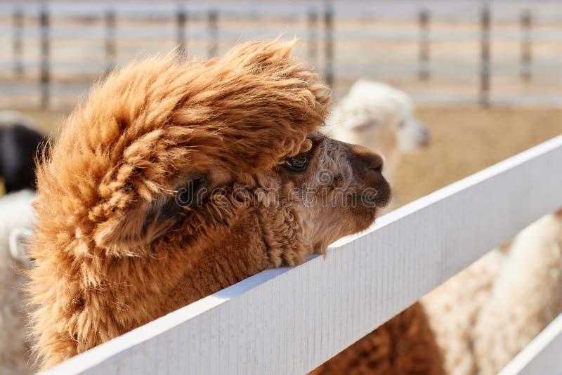 Portret van bruine alpaca op het gebied in de lente royalty-vrije stock fotografie