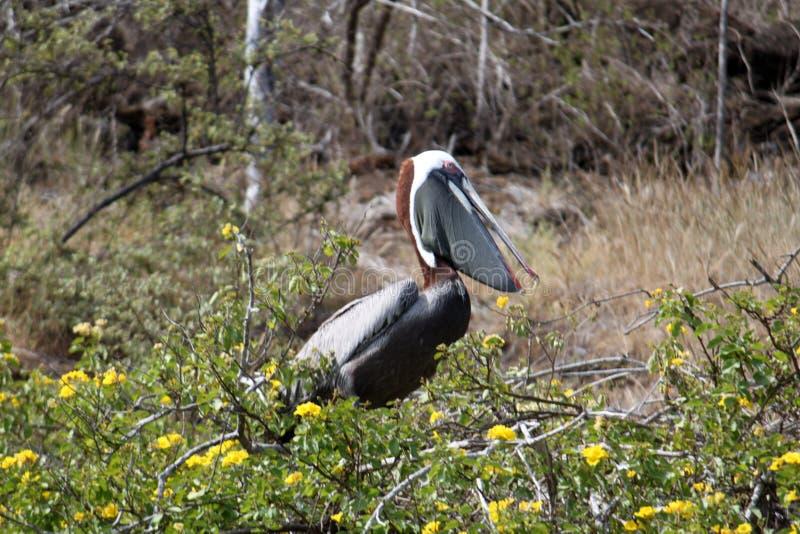 Portret van Bruine Pelikaan (de Galapagos, Ecuador) stock afbeeldingen