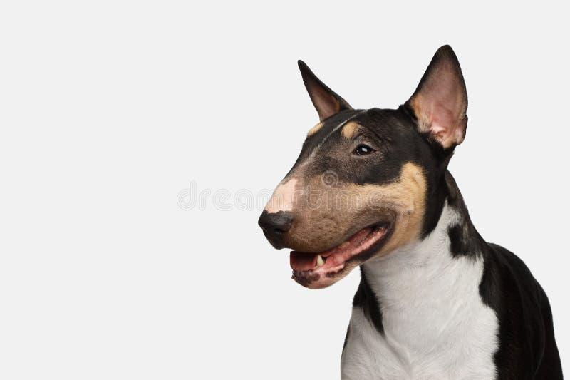 Portret van bull terrier op geïsoleerde witte achtergrond stock fotografie