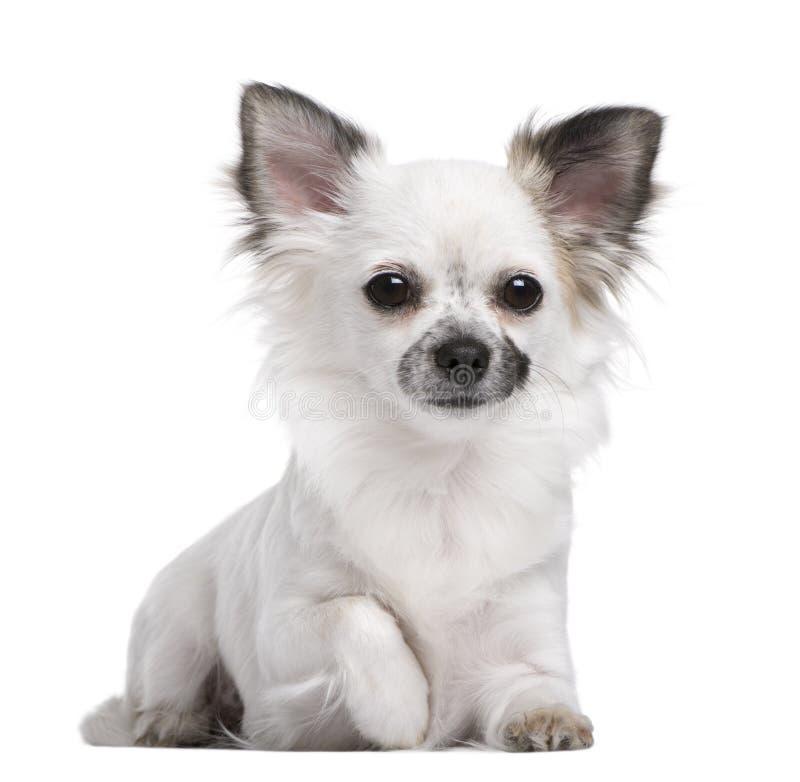 Portret van Chihuahua puppy, 1 jaar - olds oud royalty-vrije stock afbeelding