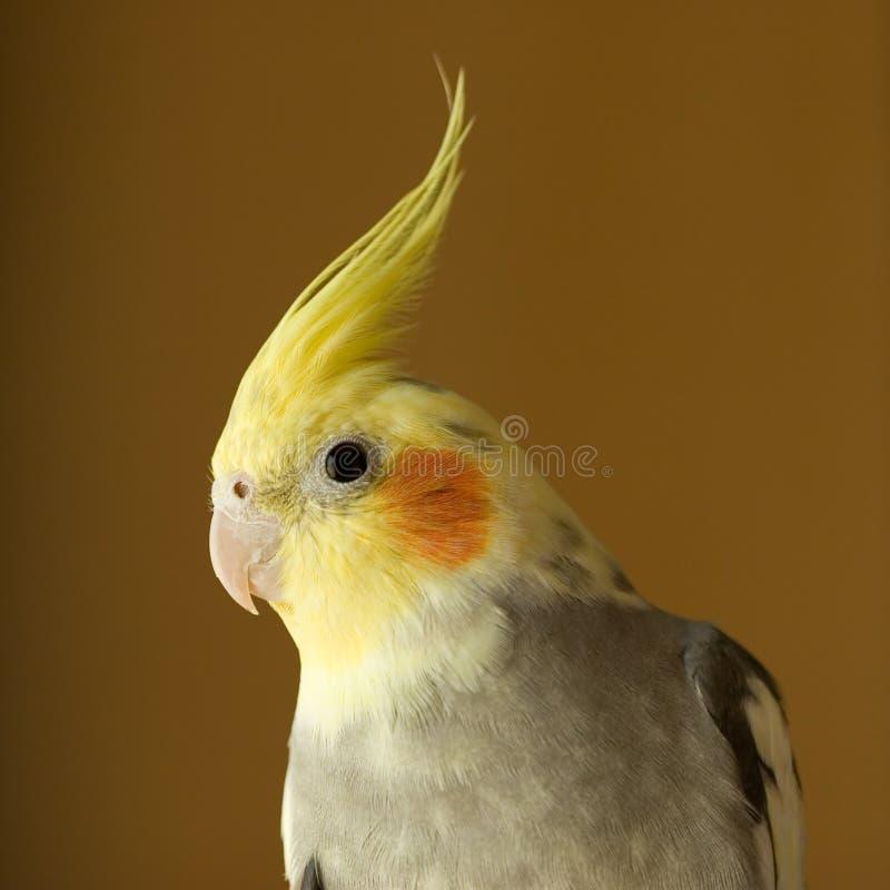 Portret van Cockatiel royalty-vrije stock foto's