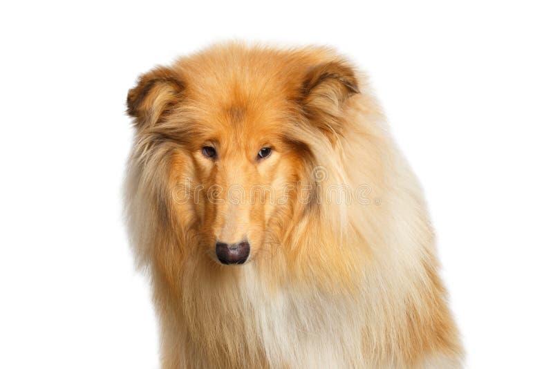 Portret van Collie Dog op de geïsoleerde Witte Achtergrond royalty-vrije stock foto's
