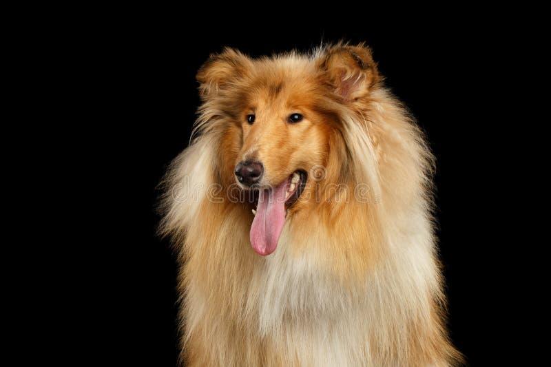 Portret van Collie Dog op geïsoleerde zwarte achtergrond stock afbeelding