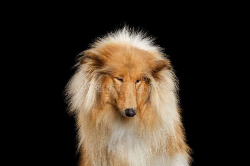 Portret van Collie Dog op geïsoleerde zwarte achtergrond stock fotografie