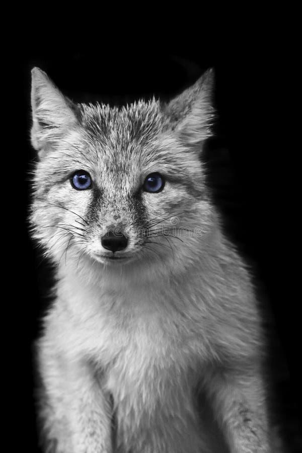 Portret van coyoteclose-up stock foto