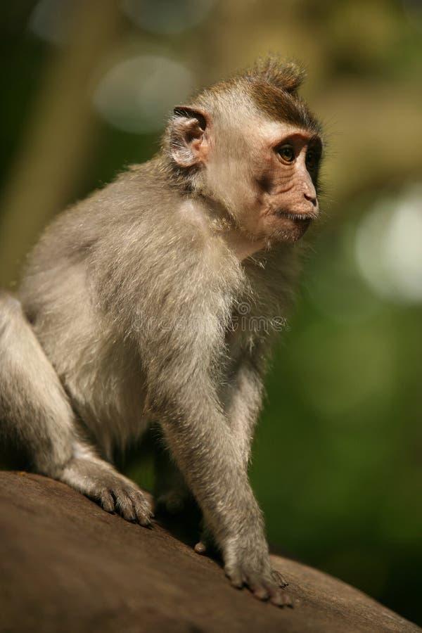 Portret van de aap royalty-vrije stock foto's