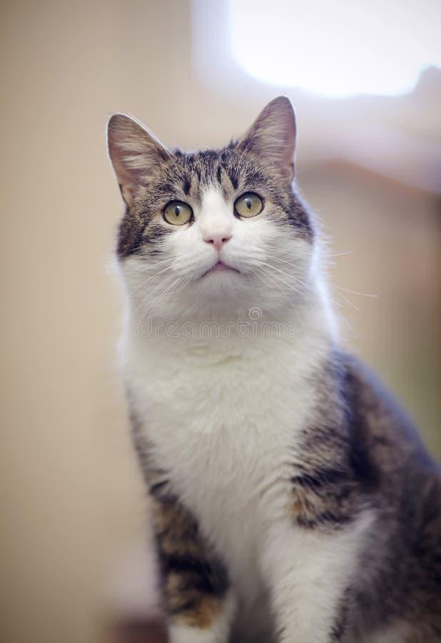 Portret van de binnenlandse kat stock afbeelding