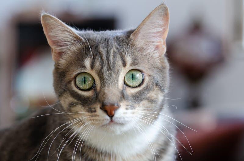 Portret van de gestreepte katkat stock foto