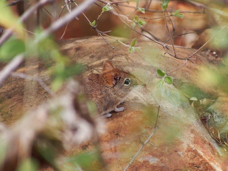 Portret van de Gestreepte Muis van het Gras stock foto