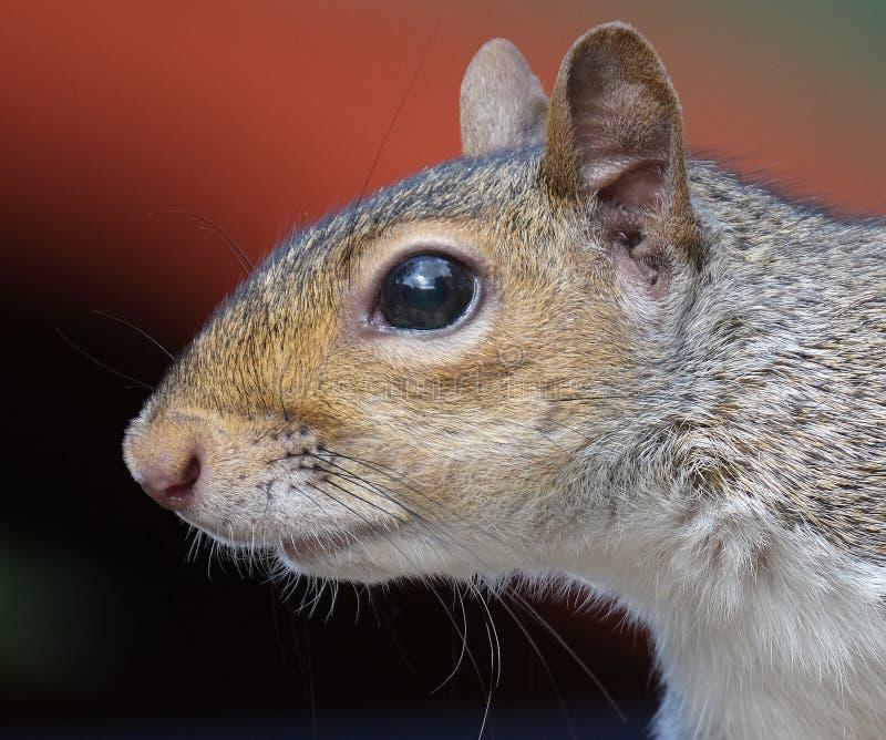 Portret van de grijze eekhoorn in de tuin royalty-vrije stock foto