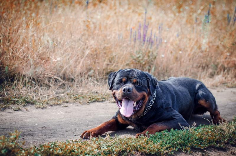 Portret van de grote rottweilerhond royalty-vrije stock foto's