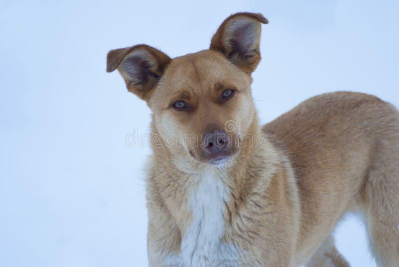 Portret van de hond in sneeuw royalty-vrije stock foto's