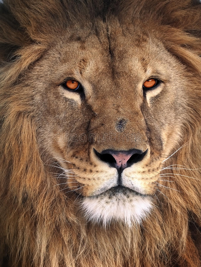 Portret van de leeuw het grote koning stock afbeelding
