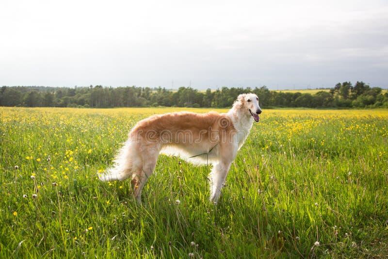 Portret van de leuke Russische barzoi die van het hondras zich op het groene gras en het gele boterbloemengebied in de zomer bij  stock fotografie