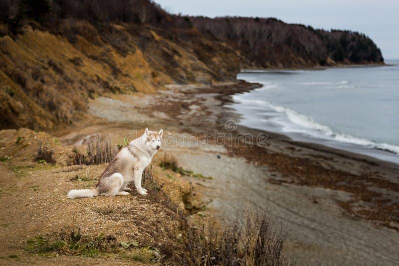 Portret van de mooie, prideful en vrije Siberische schor zitting van het hondras op de heuvel op het overzees en bergenachtergron stock afbeelding