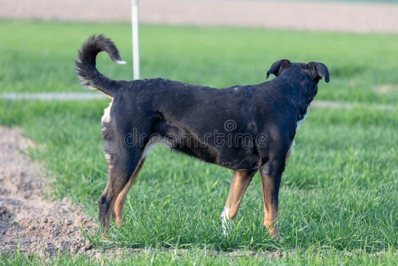 Portret van de status van zijdelings de hond van de tricolor appenzeller berg in de zomer stock foto