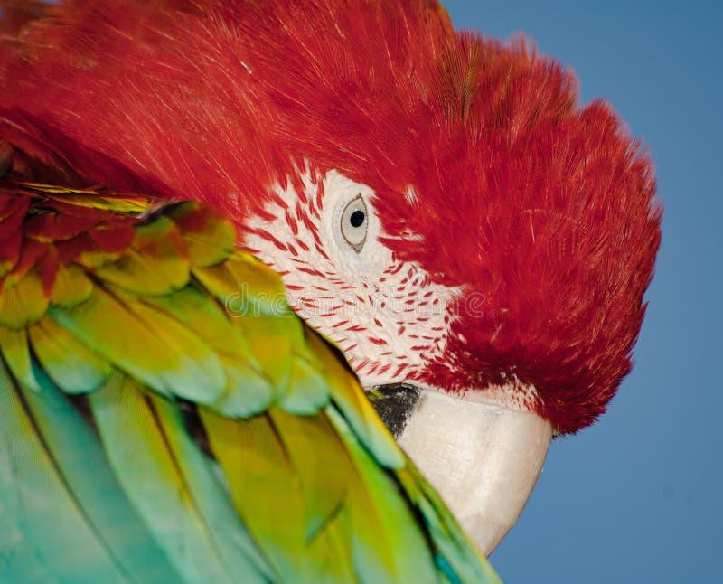 Portret van de vogel het hoofd, kleurrijke papegaai Kleurrijke aardachtergrond stock afbeeldingen