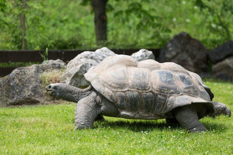 Portret van de wilde schildpad van de Galapagos en groen gras stock afbeeldingen