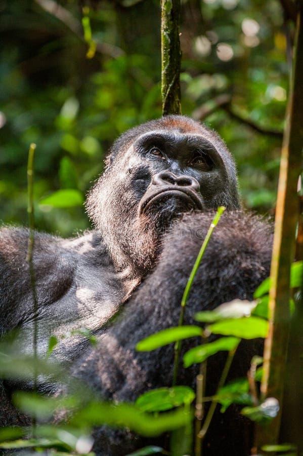 Portret van dichte omhooggaand westelijke van de laaglandgorilla (de gorilla van de Gorillagorilla) bij een korte afstand Silverb stock afbeeldingen