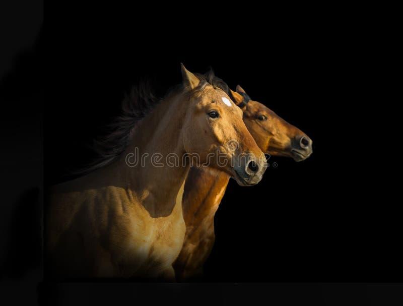 Portret van drie mustangpaarden royalty-vrije stock foto