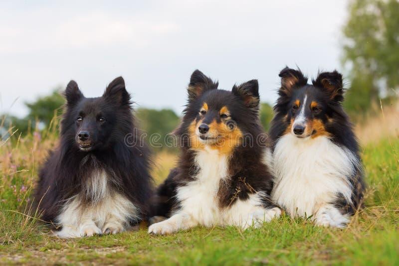 Portret van drie Sheltie-honden op een rij royalty-vrije stock afbeelding