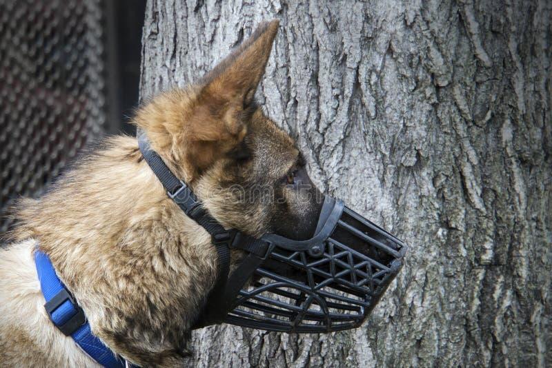 Portret van Duitse herder Het lopen van honden in aard bescherming tegen hondbeten stock fotografie