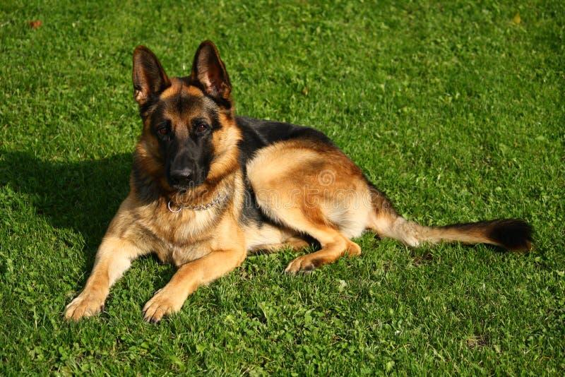 portret van Duitse herdershond op groen gras royalty-vrije stock foto