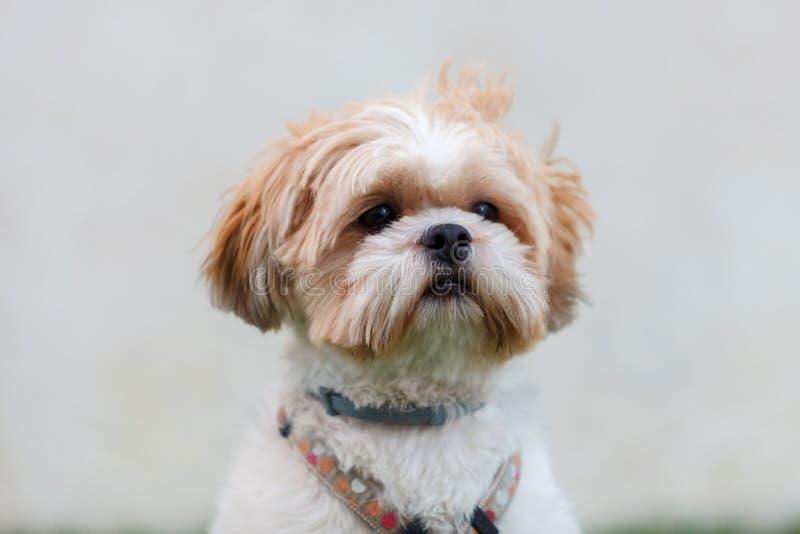 Portret van een aanbiddelijke hond shih-Tzu royalty-vrije stock afbeelding
