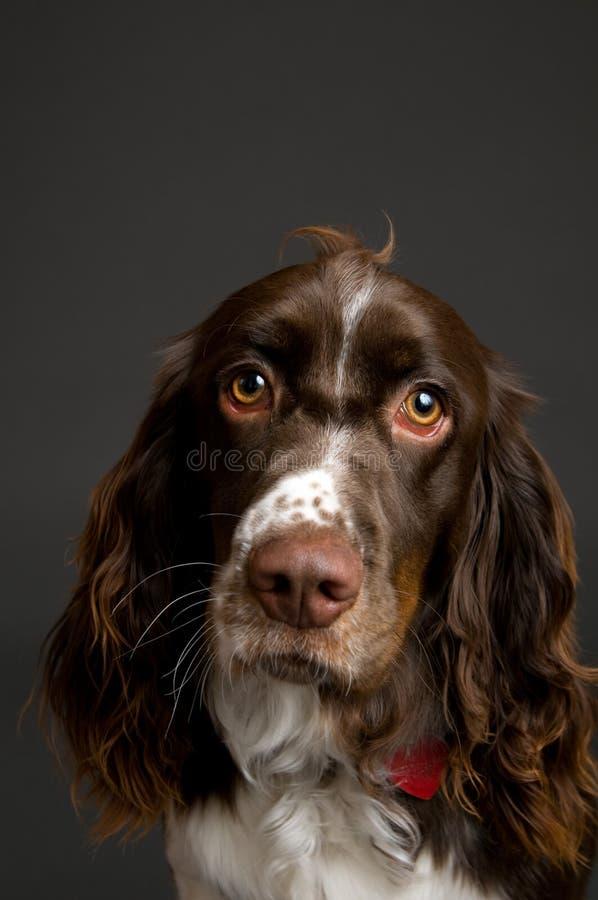 Portret van een aanzetsteenspaniel royalty-vrije stock foto's